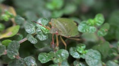 Green shield bug (Palomena prasina) on a plant. Stock Footage