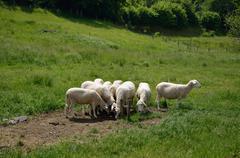 Herd of white sheep - stock photo