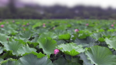 Camera slowly pans across a field of lotuses growing in a pond, shallow depth Stock Footage