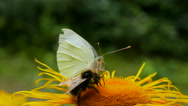 Stock Video Footage of Bumblebee and butterfly collecting nectar from the same flower