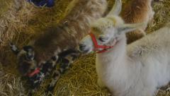 Baby LLAMA's at the fair - Full HD 25p Stock Footage