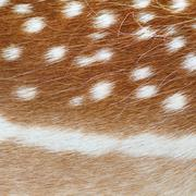 Fallow deer real pelt, colorful animal fur  texture Stock Photos