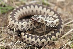 Male common adder  standing in faded grass ( european Vipera berus ) Stock Photos