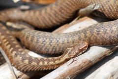 orange female adder basking on some twigs ( Vipera berus ) - stock photo