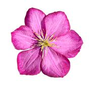 Pink Clematis Isolated on White Background Stock Photos
