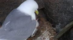 Kittiwake with her Chicks Stock Footage