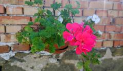 Stock Photo of Geranium Flowers