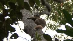 Ankarana Sportive Lemur clinging to tree 1 Stock Footage