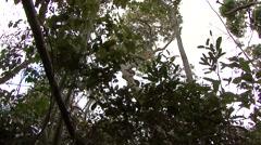 Ankarana Sportive Lemur clinging to tree 2 Stock Footage