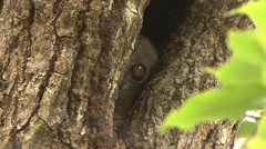 Ankarana Sportive Lemur hide in tree hole 1 Stock Footage