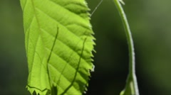 Grasshopper shadow on a leaf in close-up, Valle d'Intelvi, Italy Stock Footage