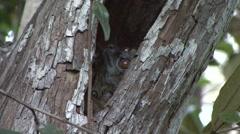 Ankarana Sportive Lemur with baby hide in tree hole 1 Stock Footage