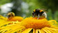 Stock Video Footage of Bumblebee collecting nectar. Close up shot