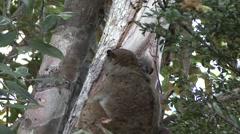 Ankarana Sportive Lemur with baby on stomach 2 Stock Footage