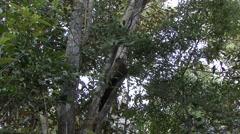 Ankarana Sportive Lemur with baby on stomach 3 Stock Footage