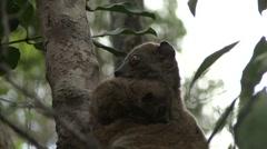 Ankarana Sportive Lemur with baby under chin 1 - stock footage