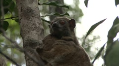 Ankarana Sportive Lemur with baby under chin 3 Stock Footage