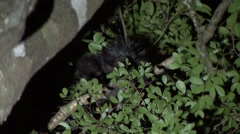 Aye Aye cleaning himself in the rainforest of Madagascar in the night 2 Stock Footage