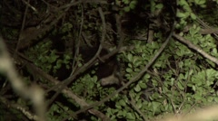 Aye Aye cleaning himself in the rainforest of Madagascar in the night 3 Stock Footage
