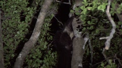 Aye Aye lick climb tree in the rainforest of Madagascar in the night Stock Footage