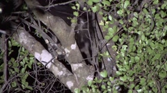 Aye Aye looking for food in the rainforest of Madagascar in the night 2 Stock Footage