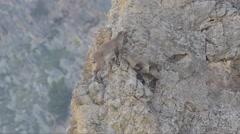 Stock Video Footage of Capra ibex, bouquetin, mammal, young, Gran Paradiso National Park,