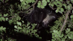 Aye Aye scratching himself in the rainforest of Madagascar in the night 2 Stock Footage