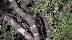 Aye Aye looking for food in the rainforest of Madagascar in the night 3 Stock Footage