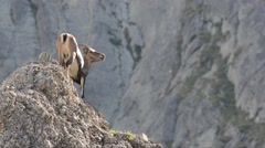 Capra ibex, bouquetin, mammal, female,  Gran Paradiso Stock Footage