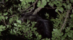 Aye Aye scratching himself in the rainforest of Madagascar in the night 3 Stock Footage