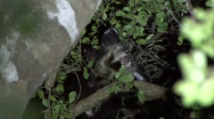 Aye Aye scratching himself in the rainforest of Madagascar in the night 4 Stock Footage