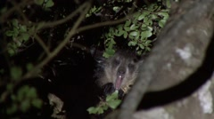 Aye Aye yawning in the rainforest of Madagascar in the night Stock Footage