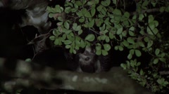 Aye Aye's playing in the rainforest of Madagascar in the night 1 Stock Footage
