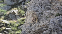 Two young Ibexes (Capra ibex) on the rocks Stock Footage