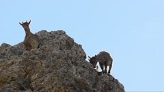 Two young individual and a female of Ibex (Capra ibex) on the rocks Stock Footage