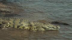 Stock Video Footage of Nile Crocodile in the Chobe National Park, BOTSWANA