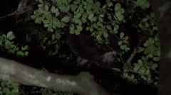 Aye Aye's playing in the rainforest of Madagascar in the night 2 Stock Footage