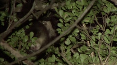 Aye Aye's playing in the rainforest of Madagascar in the night 3.m2ts Stock Footage