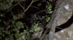 Aye Aye's playing in the rainforest of Madagascar in the night 4.m2ts Stock Footage