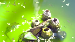Video Small guppy fish swimming in green water. Decorated small fish pond Stock Footage