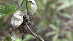 Boettgers Chameleont walking in the rainforests of Madagascar 6. Stock Footage