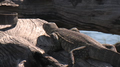Monitor Lizard in the Chobe National Park, BOTSWANA Stock Footage