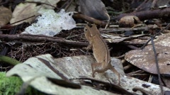 Brokesia Superciliaris chameleont walking on the ground in the rainforests of Stock Footage