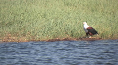 Eagle Resting on the Edge of the Water in the Chobe National Park BOTSWANA Stock Footage