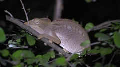 Chameleont sleeping on branch in the night in the dry deciduous forests of Ma Stock Footage