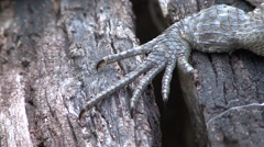 Collared Iguana foot in the dry deciduous forests of Madagascar Stock Footage