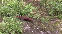 Eastern ring-tailed Mongoose walking in the rainforests of Madagascar 1 Stock Footage