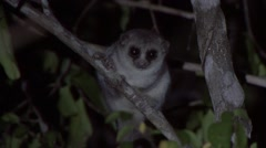Fat-tailed Dwarf Lemur in Daraina in the rainforests of Madagascar Stock Footage