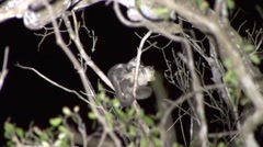 Fat-tailed Dwarf Lemur mating in the rainforests of Madagascar Stock Footage