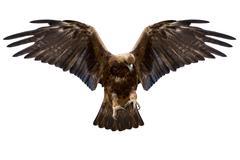 Eagle, isolated Stock Photos
